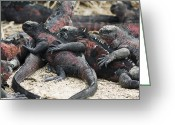 Sharp Claws Greeting Cards - Galapagos Marine Iguanas Greeting Card by Sally Weigand