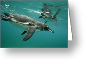 Bartolome Greeting Cards - Galapagos Penguin Spheniscus Mendiculus Greeting Card by Tui De Roy