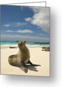 Resting Animals Greeting Cards - Galapagos Sea Lions Resting On A White Greeting Card by Annie Griffiths