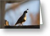 Property Released Photography Greeting Cards - Gambels Quail At The Omaha Zoo Greeting Card by Joel Sartore