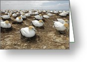 The Cape Greeting Cards - Gannet Colony Greeting Card by Sven Klerkx