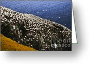 Sanctuary Greeting Cards - Gannets at Cape St. Marys Ecological Bird Sanctuary Greeting Card by Elena Elisseeva