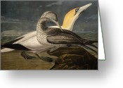 Drawing Of Bird Greeting Cards - Gannets Greeting Card by John James Audubon