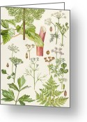 Spice Painting Greeting Cards - Garden Angelica and other plants  Greeting Card by Elizabeth Rice