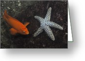 Saltwater Fish Greeting Cards - Garibaldi With Starfish Underwater Greeting Card by Flip Nicklin