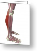 Muscle Photo Greeting Cards - Gastrocnemius And Soleus Muscle Greeting Card by MedicalRF.com