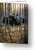 Animal Greeting Cards - Gathering of Moose Greeting Card by Bob Orsillo
