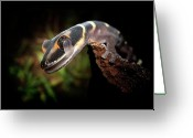 Wild Lizard Greeting Cards - Gecko Greeting Card by Kristian Bell
