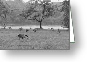 Mallards Greeting Cards - Geese on a Rainy Day Greeting Card by Bill Cannon