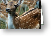 Game Animals Photo Greeting Cards - Gentle Deer Greeting Card by Heiko Koehrer-Wagner