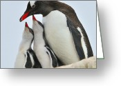 Austral Greeting Cards - Gentoo Feeding Time Greeting Card by Tony Beck