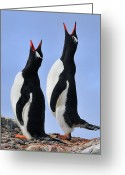 Pygoscelis Papua Greeting Cards - Gentoo Love Song Greeting Card by Tony Beck