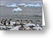 Pygoscelis Papua Greeting Cards - Gentoo Parade Greeting Card by Tony Beck
