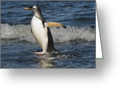 Pygoscelis Papua Greeting Cards - Gentoo Penguin Coming Ashore South Greeting Card by Flip Nicklin