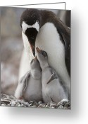 Pygoscelis Papua Greeting Cards - Gentoo Penguin Feeding Its Two Chicks Greeting Card by Tom Murphy