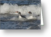 Pygoscelis Papua Greeting Cards - Gentoo Penguin Pair Coming Ashore South Greeting Card by Flip Nicklin