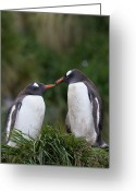 Pygoscelis Papua Greeting Cards - Gentoo Penguin Pygoscelis Papua Couple Greeting Card by Suzi Eszterhas