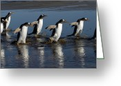 Pygoscelis Papua Greeting Cards - Gentoo Penguin Pygoscelis Papua Group Greeting Card by Hiroya Minakuchi