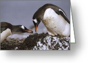 Pygoscelis Papua Greeting Cards - Gentoo Penguin Pygoscelis Papua Nesting Greeting Card by Tui De Roy