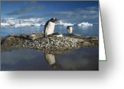 Pygoscelis Papua Greeting Cards - Gentoo Penguin Pygoscelis Papua Parent Greeting Card by Gerry Ellis