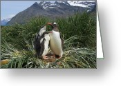 Pygoscelis Papua Greeting Cards - Gentoo Penguin Pygoscelis Papua Parent Greeting Card by Suzi Eszterhas