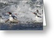 Pygoscelis Papua Greeting Cards - Gentoo Penguins Coming Ashore South Greeting Card by Flip Nicklin