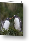 Sub Greeting Cards - Gentoo Penguins Nesting In Gold Harbor Greeting Card by Suzi Eszterhas