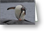 Pygoscelis Papua Greeting Cards - Gentoo Yoga Greeting Card by Tony Beck