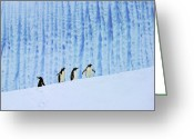 Pygoscelis Papua Greeting Cards - Gentoos on Ice Greeting Card by Tony Beck