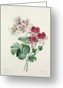 Gardening Drawings Greeting Cards - Geranium Variety Greeting Card by Pierre Joseph Redoute