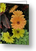 Flower Show Greeting Cards - Gerber delight Greeting Card by Vijay Sharon Govender