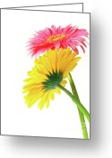 Pollen Greeting Cards - Gerber Flowers Greeting Card by Carlos Caetano