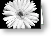 Black And White Floral Greeting Cards - Gerbera Daisy Greeting Card by Marilyn Hunt