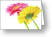 Pollen Greeting Cards - Gerbera Flowers Greeting Card by Carlos Caetano