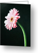 Flower. Petals Pastels Greeting Cards - Gerbera Greeting Card by Michael King