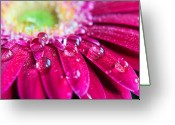 Manchester Greeting Cards - Gerbera Rain Droplets Greeting Card by Michelle McMahon