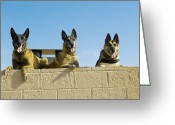 Laying Down Greeting Cards - German Shephard Military Working Dogs Greeting Card by Stocktrek Images