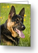 Handsome Greeting Cards - German Shepherd Greeting Card by Meirion Matthias