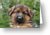 Alsatian Greeting Cards - German Shepherd Puppy II Greeting Card by Sandy Keeton