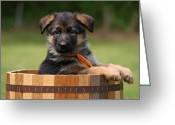 Alsatian Greeting Cards - German Shepherd Puppy in Planter Greeting Card by Sandy Keeton