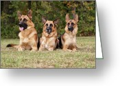 Alsatian Greeting Cards - German Shepherds - Family Portrait Greeting Card by Sandy Keeton