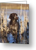Hunter Photo Greeting Cards - German Shorthair On Point -  D000897 Greeting Card by Daniel Dempster