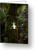 Everglades Greeting Cards - Ghost Orchid of the Fakahatchee Strand Greeting Card by Rich Leighton