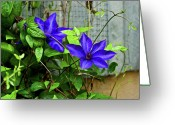 Star Barn Greeting Cards - Giant Blue Clematis Greeting Card by Douglas Barnett