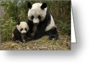 Panda Greeting Cards - Giant Panda Ailuropoda Melanoleuca Greeting Card by Katherine Feng