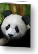 Black And White Digital Art Greeting Cards - Giant Panda Greeting Card by Julie L Hoddinott
