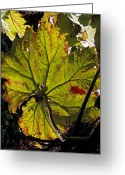 Contre Jour Greeting Cards - Giant Rhubarb Leaf Greeting Card by Bob Gibbons