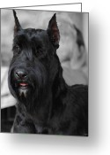 Chic Greeting Cards - Giant Schnauzer Greeting Card by Jai Johnson