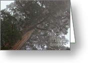 Biggest Tree Greeting Cards - Giant Sequoia in the fog Greeting Card by Hideaki Sakurai
