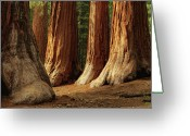 National Greeting Cards - Giant Sequoias, Yosemite National Park Greeting Card by Andrew C Mace
